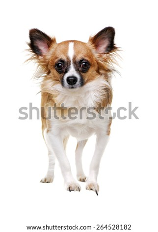 front side portrait of a standing chihuahua dog on white background - stock photo