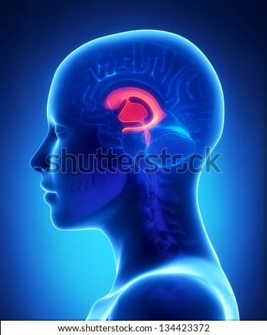 Front ventricles - female brain anatomy lateral view - stock photo