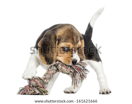Front view of a Beagle puppy biting a rope toy, isolated on white - stock photo