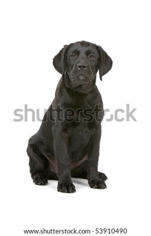 front view of a black labrador retriever puppy - stock photo