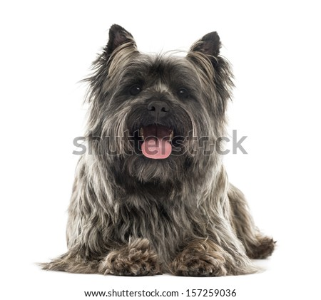 Front view of a Cairn Terrier lying, panting, isolated on white - stock photo
