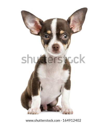 Front view of a Chihuahua, sitting, 4 months old, isolated on white