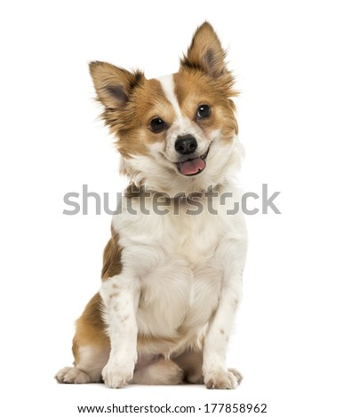 Front view of a Chihuahua sitting, panting with a cutted tongue, 7 months old, isolated on white