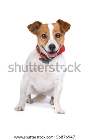 front view of a cute jack russel terrier looking happy, isolated on a white background - stock photo