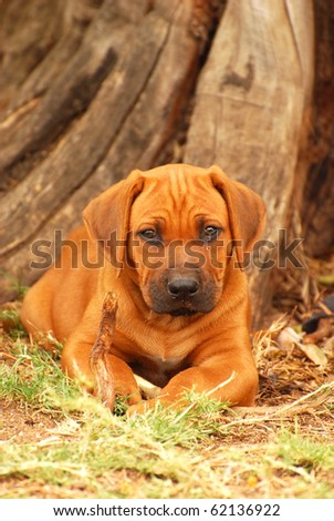 Front view of a cute little young thoroughbred African Rhodesian Ridgeback hound dog puppy lying in the woods outdoors and staring.