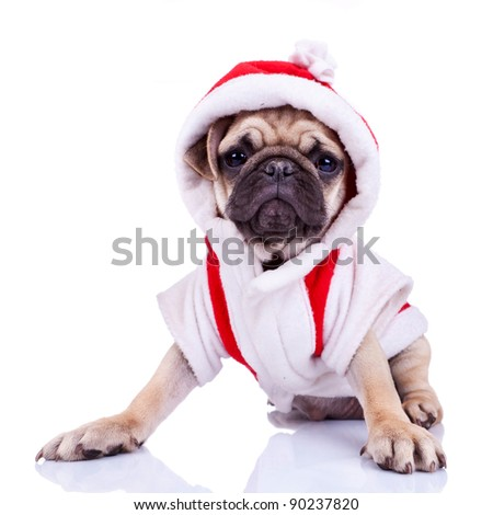 front view of a cute pug puppy dressed as santa, on white background - stock photo