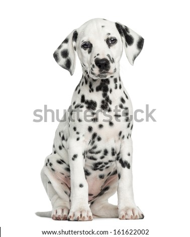 Front view of a Dalmatian puppy sitting, facing, isolated on white - stock photo