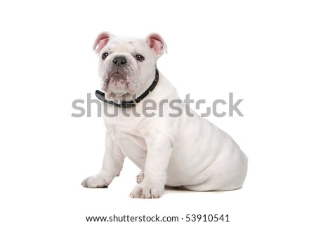 front view of a French bulldog puppy - stock photo