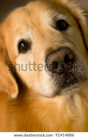 front view of a Golden Retriever looking curious - stock photo