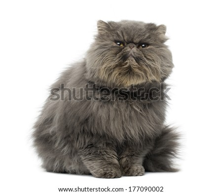 Front view of a grumpy Persian cat, sitting, looking up, isolated on white