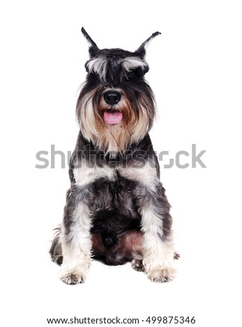 Front view of a Schnauzer isolated on white background