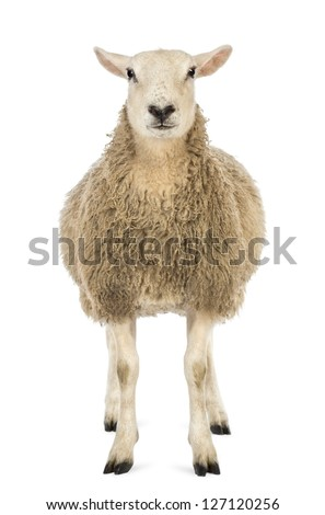 Front view of a Sheep looking at camera against white background - stock photo