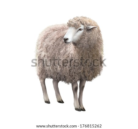 Front view of a Sheep looking away. Illustration isolated on white background