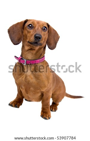 front view of a short haired Dachshund - stock photo