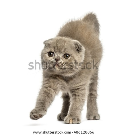 Front view of a young Foldex kitten stretching isolated on white