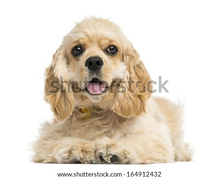 Front view of an American cocker spaniel puppy, 5 months, isolated on white - stock photo