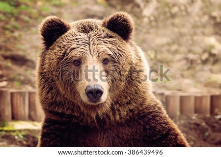 Front view of brown bear - stock photo