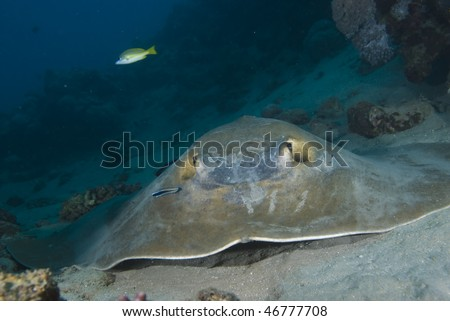 Front view of Feathertail stingray (Pastinachus sephen) and cleaner wrasse (Labroides dimidiatus). Red Sea, Egypt.