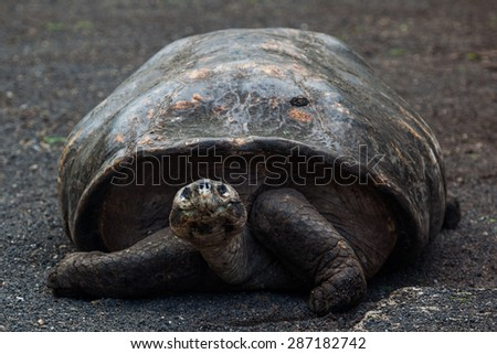 Front view of Giant tortoises in Darwin Station, Galapagos Islands, Ecuador  - stock photo