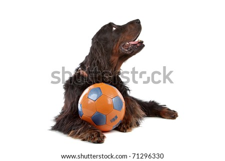 Front view of Gordon Setter dog with a ball, lying down, on a white background - stock photo