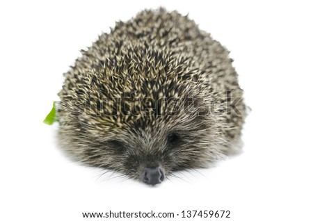 Front view of  hedgehog. Isolated over white background.