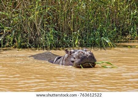 Front view of hippo at the South Africa Garden route near Lake Santa Lucia eating reed from the river bank