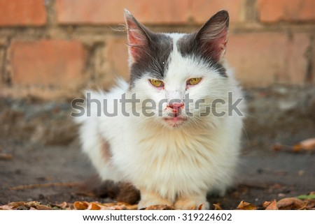 Front view of homeless seasoned cat. Dirty feral cat is sitting on the ground and looking at camera, a lot of space for text White and black stray cat ready foe action. - stock photo