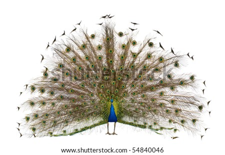 Front view of Male Indian Peafowl displaying tail feathers in front of white background - stock photo