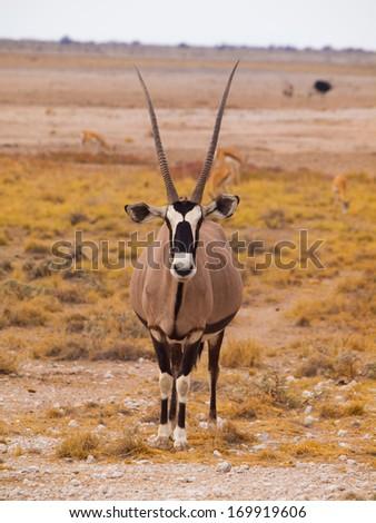 Front view of oryx antelope (Oryx gazella) - stock photo