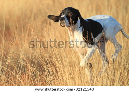 front view of pointer pedigree dog running