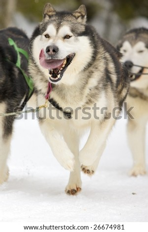front view of siberian sled dog huskys at race in winter - stock photo