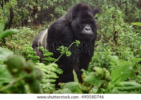 Front view of silverback mountain gorilla in the misty wild forest