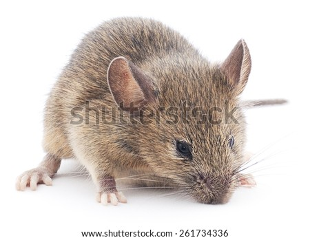 Front view of Wood mouse  isolated on white background - stock photo