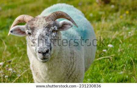 Front view portrait close up of one single fleecy fluffy alive baby sheep or lamb face looking curious, untagged(without ear tags) with horns. Unusual view of the most popular farm animal in Ireland - stock photo