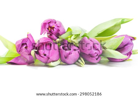Front view to the violet tulips isolated on white background - stock photo