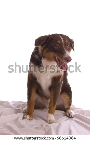 Frontal, full-body picture of a brown Australian shepherd sitting in bed, looking attentively to the right of the camera. Isolated on white; model released. - stock photo