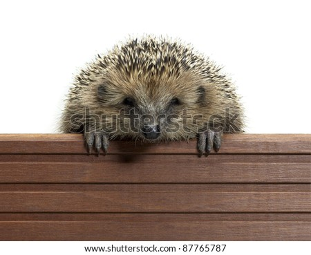 frontal portrait of a hedgehog while climbing over a wooden panel. Studio photography in white back - stock photo