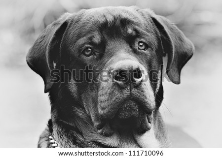 Frontal portrait of an adut male purebred Rottweiler, monochrome, narrow DOF , focus on the eye. - stock photo