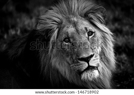 Frontal shot of a Male African Lion with a sad expression. - stock photo