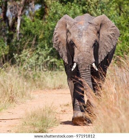 Frontal view of a young African Elephant approaching down the road