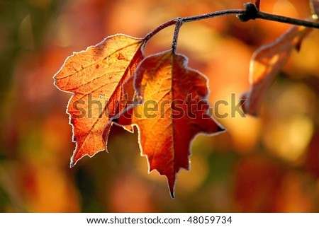 Frost covered autumn leaves backlit by the light of the rising sun. - stock photo
