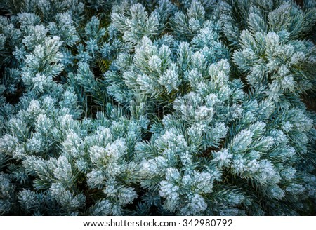 frost-covered green juniper needles - stock photo