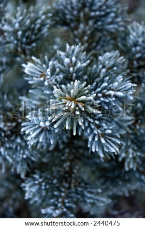 Frost covered pine tree branch