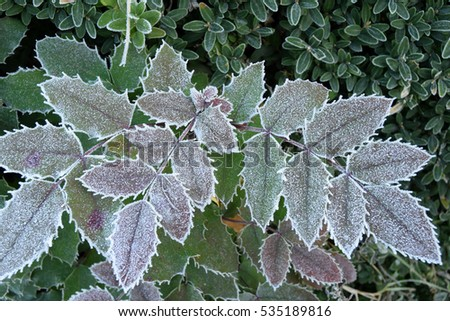 Frost on a fence of mahonia in the countryside Brescia - Lombardy - Italy