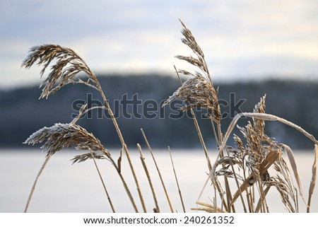 Frost on Common Reed seed heads (Phragmites australis) on the sea shore in winter.  - stock photo