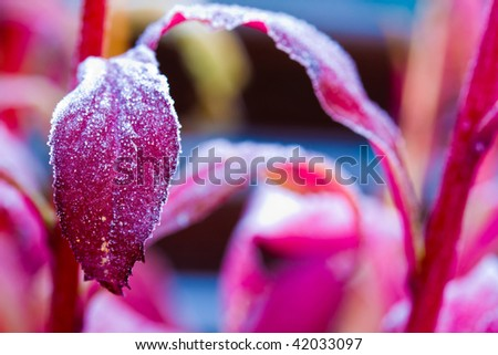 frost on the leaf of a lobiliea   plant - stock photo