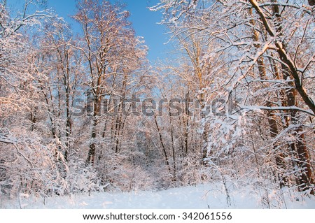 Frost on the trees in the forest. Cold winter day at sunset. Frost and snow on the branches. Beautiful winter nature. Panorama of the winter forest. The winter landscape. Snow fairy forest. - stock photo