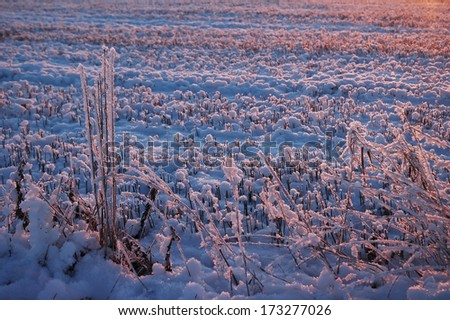 frost reed at winter during sunrise