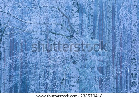 frosted birch forest