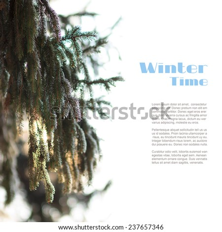 Frosted branch of Christmas tree isolated on white background. Evergreen fir in sunbeam - stock photo